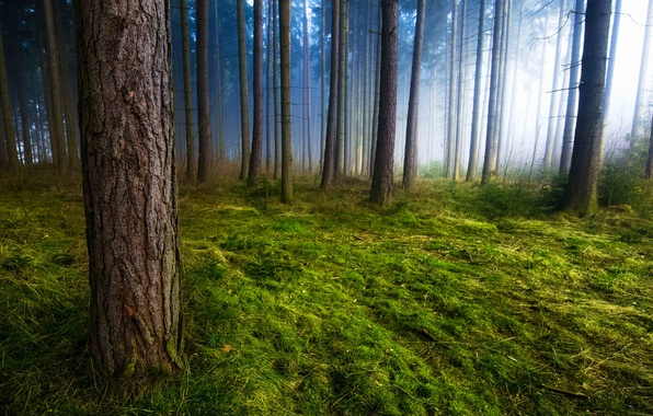 Picture grass, trees, nature, fog, trunks, moss, morning, Forest