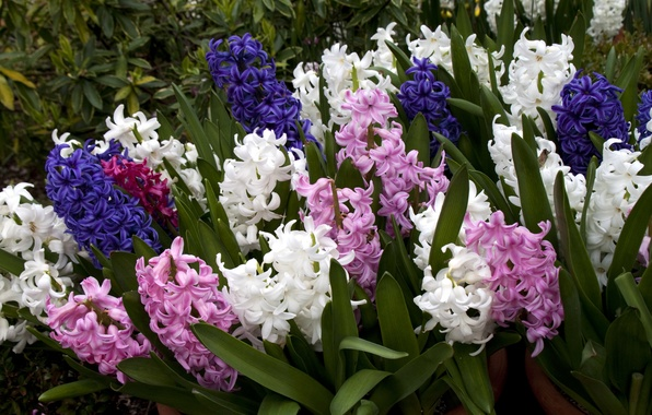 Picture flowers, photo, a lot, hyacinths