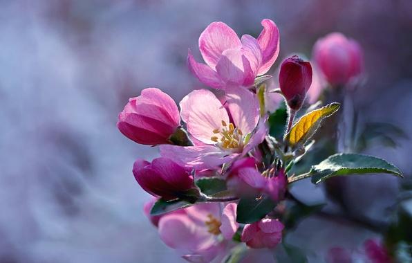 Picture macro, branch, Apple, flowering, flowers