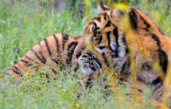 Picture grass, face, tiger, predator