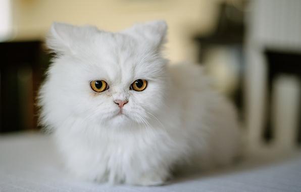 Picture cat, look, muzzle, white, Persian cat