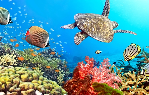 Picture fish, the ocean, turtle, underwater world, underwater, ocean, fishes, tropical, reef, coral, coral reef