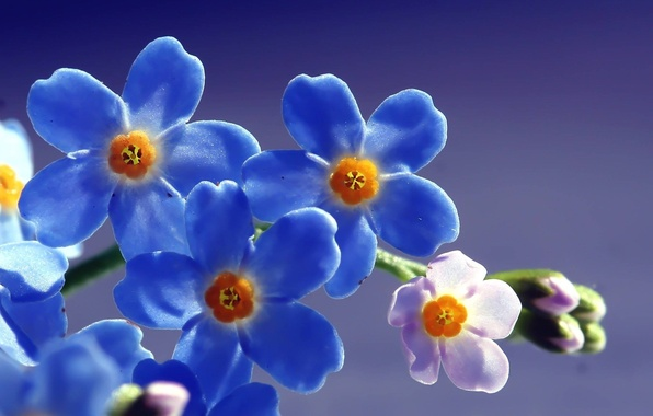 Picture the sun, macro, light, flowers, field, blue, forget-me-nots