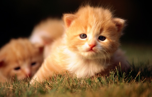 Picture cat, grass, cat, kitty, red, kittens