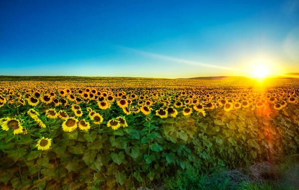 Picture field, the sky, sunflowers, dawn, the rays of the sun, a lot, plantation
