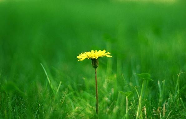 Picture grass, dandelion, clover