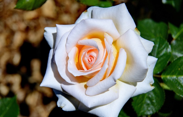 Picture macro, rose, petals, Bud, beauty