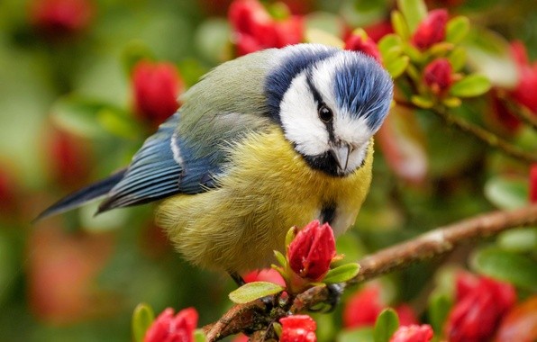 Picture branches, bird, flowering, flowers, tit, blue tit