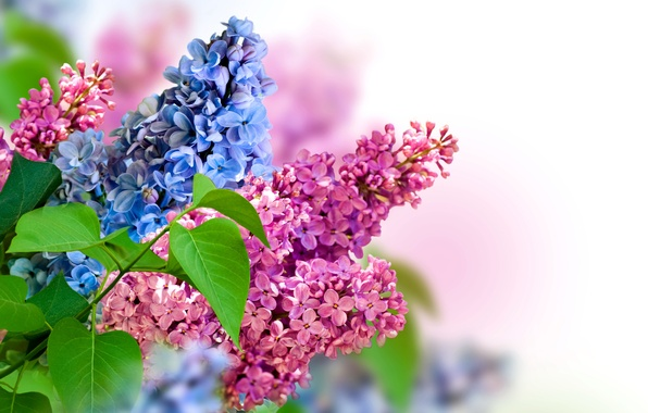 Picture nature, spring, lilac, inflorescence