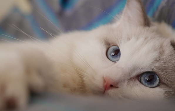 Picture cat, look, muzzle, blue eyes, Ragdoll