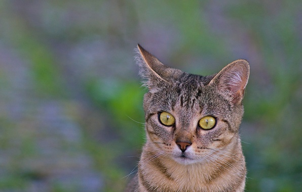 Picture cat, look, macro, background, animal, ears, green eyes