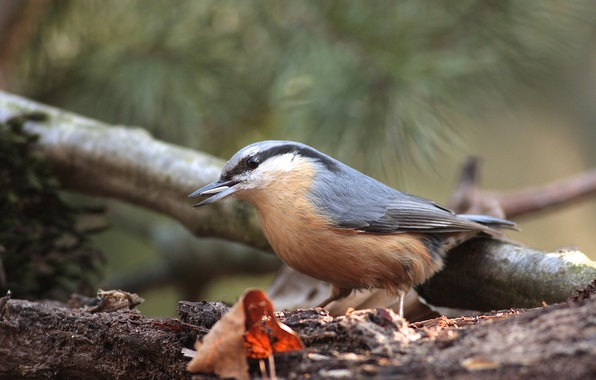 Picture sheet, tree, bird, food, branch, nuthatch, seed