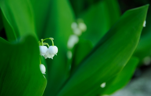 Picture white, flower, leaves, macro, spring, green, Lily of the valley