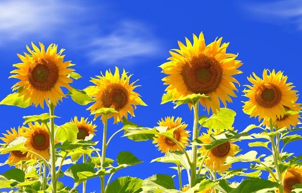 Picture the sky, flowers, sunflower, petals, stem