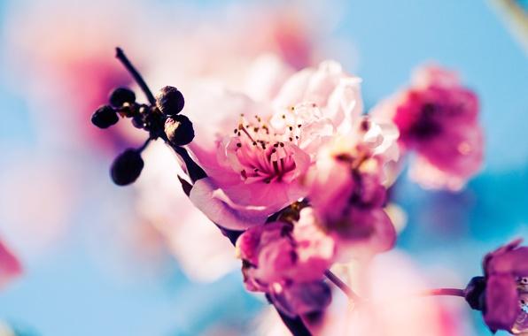 Picture macro, flowers, nature, cherry, branch, spring, Sakura, pink, buds, flowering
