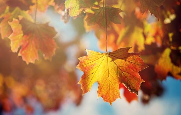 Picture autumn, leaves, the sun, macro, light, branches, sheet, tree, orange, maple