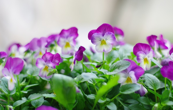 Picture greens, macro, flowers, freshness, nature, bouquet, plants, spring, Pansy