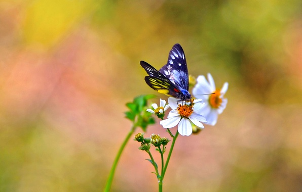 Picture flowers, background, butterfly, white, kosmeya