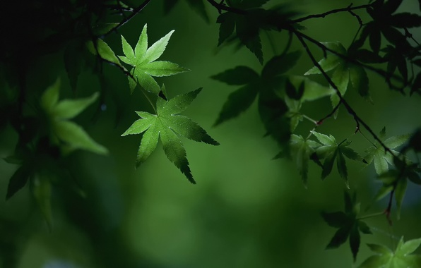 Picture summer, macro, branches, foliage, maple