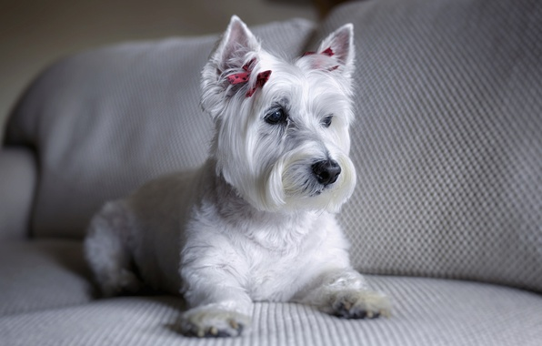 Picture sofa, dog, The West highland white Terrier