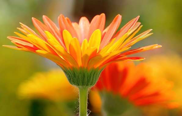 Picture nature, petals, meadow, gerbera