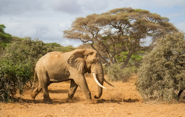 Picture trees, nature, elephant, Africa, tusks