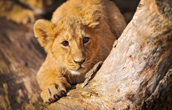 Picture tree, predators, Leo, stumps, log, kids, wild cats, lions, hemp, stump