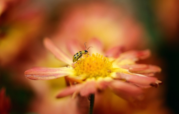 Picture flower, orange, ladybug, blur, insect, yellow