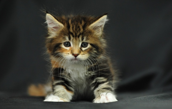 Picture kitty, fluffy, small, sitting, striped, tri-color