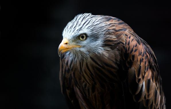 Red-Tailed Hawk Predator HD desktop wallpaper : High Definition ...