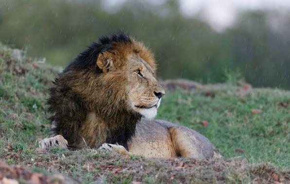 Picture cat, rain, stay, Leo, profile