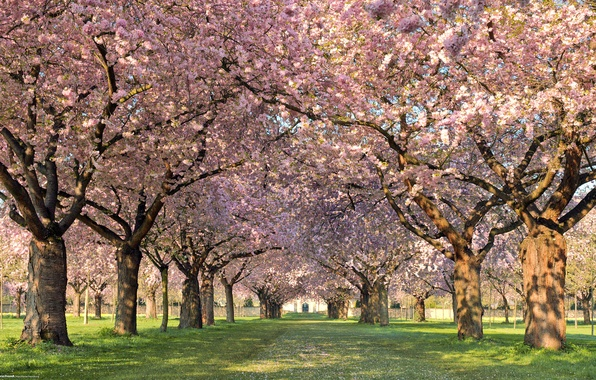 Picture trees, flowers, nature, spring, petals, alley