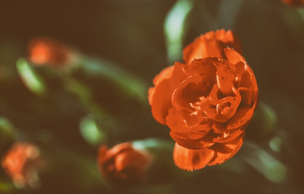 Picture flower, rose, Bud, red, rose, red, flower
