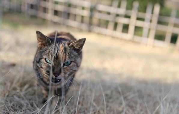 Picture eyes, cat, look, Koshak, Tomcat, aggressive