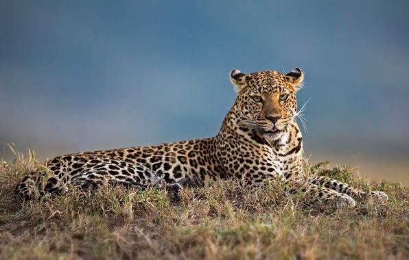 Picture leopard, wild cat, krasava