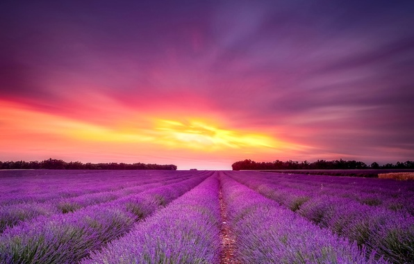 Picture field, sunset, flowers, lavender
