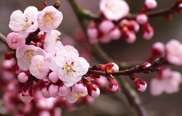Picture flowers, nature, cherry, branch, spring, petals, Sakura, pink, white, buds, flowering