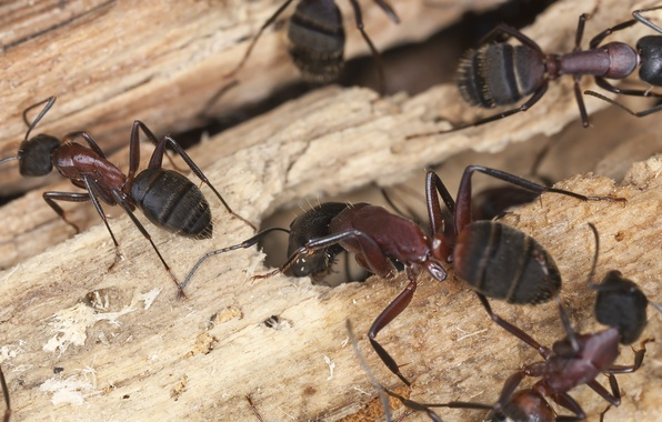 Picture wood, insects, ants