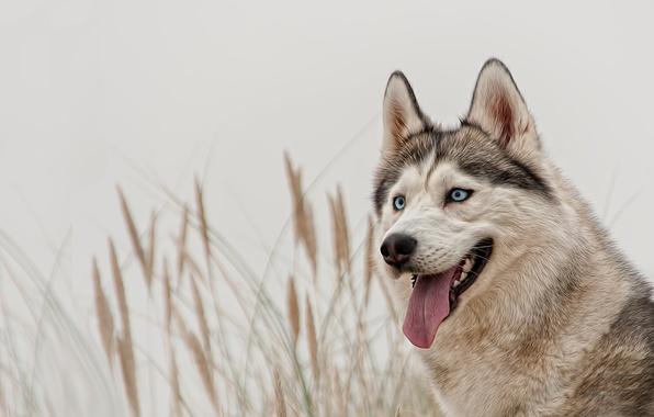 Picture look, dog, blue eyes, husky, Siberian husky
