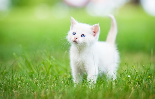 Picture grass, baby, kitty, blue eyes, white kitten