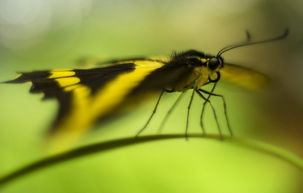 Picture butterfly, a blade of grass, bokeh