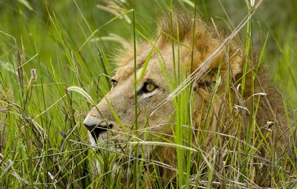 Picture grass, look, predator, Leo