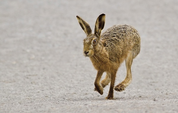 Picture grey, hare, running, hare