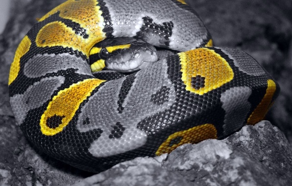 Picture grey, color, Snake, scales, 157
