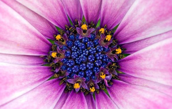 Picture Flower, Pollen, Violet