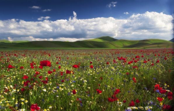 Picture flowers, hills, Maki, chamomile, meadow, cornflowers