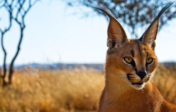 Picture look, predator, face, Caracal, steppe lynx, Caracal, ears, brush