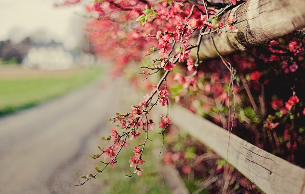 Picture flowers, nature, sprig, pink, the fence, focus, spring, fence, flowering, the bushes, bokeh, quince
