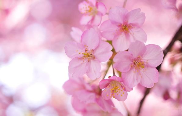 Picture flowers, branches, tree, petals, Sakura, blur, pink