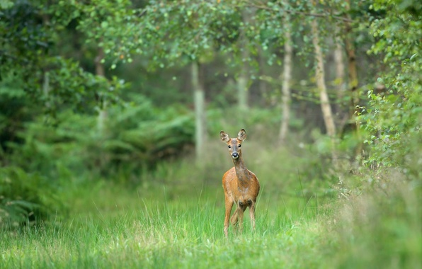 Picture forest, grass, trees, animal, deer